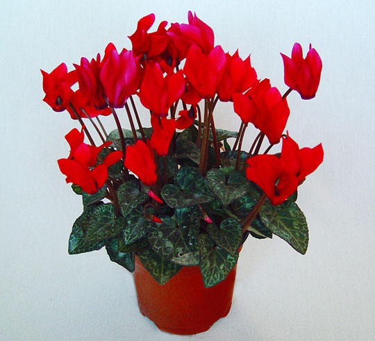 Cyclamen de color rojo
